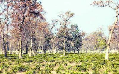 Doon may lose tea gardens, activists fume